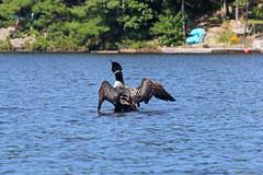 lake loon having a bath (scienceduck) Tags: 2018 september scienceduck ontario canada lake water muskoka lakemuldrew muldrewlake muldrew loon bird dock