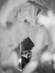 grey-headed flying fox - 0426 [mono] (liam.jon_d) Tags: iucn iucnredlist pteropuspoliocephalus mono adelaide adelaidecity animalportrait arty australia australian bw bat billdoyle blackandwhite environment environs flyingfox fruitbat greyheaded greyheadedflyingfox hang hanging internationalunionfortheconservationofnature lake monochrome parklands portrait pteropus rivertorrens sa southaustralia southaustralian status threatenedspecies threatenedspecieslist torrens vulnerable
