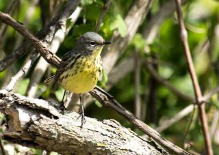 IMG_2248  Kirtland's Warbler_female