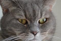 Furry Büsiness (evil king) Tags: chill chillers cat chat katze kitten kätzchen kitty fun fluffy flauschig fluffball fluffig furry funny furball fur britishshorthair persian british kurzhaar sweet adorable cute pussy pussycat