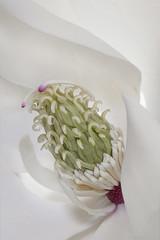 Magnolia (Summername) Tags: flowers magnolia white flora botanical macro closeup nature canon flickr delicate