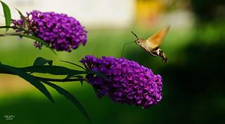 Hummingbird hawk-moth