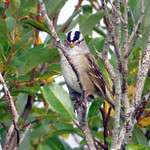 White_crowned Sparrow thumbnail