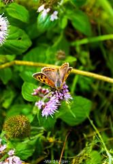 vlinder op bloem (wardkeijzer_107) Tags: vlinder butterfly macro closeup bloem flowers nikon