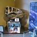 Clemson University - Bob Campbell Geology Museum 07-24-2018 31 - Tyrannosurus Rex