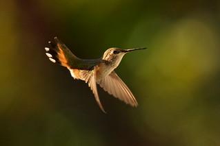 Rufous hummingbird, juvenile