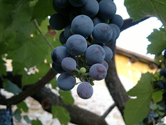 2018-08-11-984 (vale 83) Tags: spider web grapes nokia n8