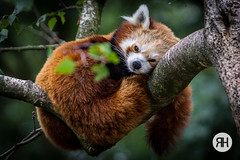 Can't sleep without you. (RonHui) Tags: ouwehands zoo animals dier beest dieren dierentuin