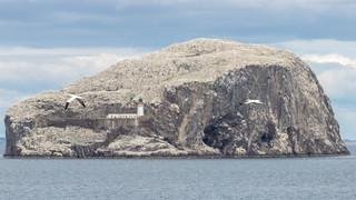 Bass Rock, Gannet colony
