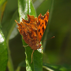 2018_06_0813 (petermit2) Tags: commabutterfly comma butterfly idlevalley idle retford nottinghamshire nottinghamshirewildlifetrust nwt wildlifetrust wildlifetrusts