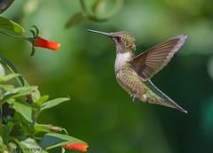 Ruby-throated Hummingbird (Estrada77) Tags: rubythroatedhummingbird hummingbirds birds birding inflight wildlife outdoors mchenrycounty summer2018 aug2018 nikon nikond500200500mm