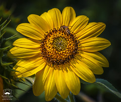 May This Flower Brighten Your Day (allentimothy1947) Tags: califonia santaroaa sonomacounty buds colorful flowers insects petel bright yellow sunflower flower bee insect beauty seeds