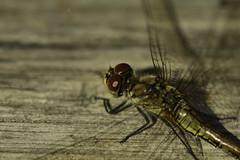 Keep calm, I just want to take a picture... (Explore 2018-08-27) (pro.henrik) Tags: fs180825 fs180826 dragonfly fotosondag fotosöndag stagnation stillastående stillestånd stiltje trollslända