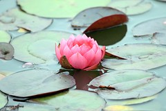 Water Lily J78A1555 (M0JRA) Tags: flowers plants walks birds woods weeds gardens forest fields lakes ponds water