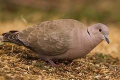 IMG_0183 eurasian dove (starc283) Tags: bird birding birds canon canon7d flickr flicker forest wildlife nature naturesfinest naturewatcher nebraska starc283
