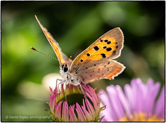 Small copper (very windy) (daverigleyphotos) Tags: copper small olympus em1mk2 60mm macro flower pink sea