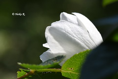 The clever man learns after the first mistake, the stupid after the umpteenth mistake, a wise man never stops learning. (heikecita) Tags: macro makro blume plant blüte blossom natur nature weis white jasmin nikon d7200