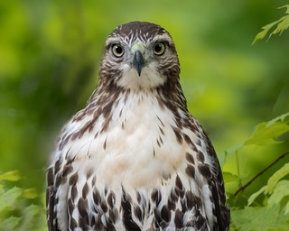 Red-tail Portrait