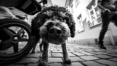 trouble ahead (Hendrik Lohmann) Tags: streetphotography dogs dog duesseldorf nikondf wideangle blackandwhite bw bnw nikon
