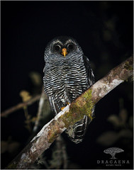 San Isidro Owl (Ana O.D.) Tags: san isidro owl owls raptor birds prey bird birdwatching birding night animals animal wildlife nature naturaleza fauna aves pájaro búho strix ciccaba canon 5dmk4 sigma 150600mm contemporary