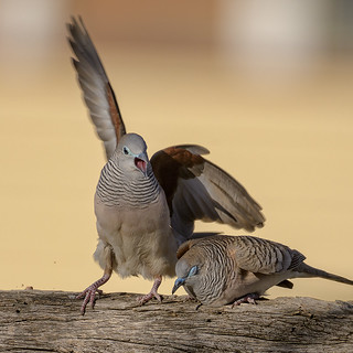 courtship #1 - peaceful doves