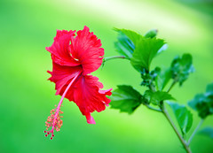 Red and green . (Peterzpham) Tags: ngc coth coth5 hibiscus