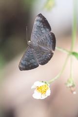 Emesis aurimna (Id?) (fabriciodo2) Tags: papillon macro nature cancun mexique emesisaurimna