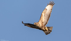Common Buzzard on the wing (Steve (Hooky) Waddingham) Tags: bird british countryside nature prey wild wildlife