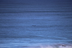IMG_3657 (gervo1865_2 - LJ Gervasoni) Tags: surfing with whales lady bay warrnambool victoria 2017 ocean sea water waves coast coastal marine wildlife sealife blue photographerljgervasoni