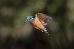 Hovering (Chris Bainbridge1) Tags: alcedoatthis kingfisher female hovering in flight