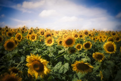 Helianthus Dreams I (rick_snizik) Tags: sunflowers helianthus september summer floral lensbaby burnside35 bokeh yellow