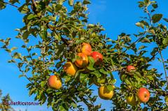 Badische Äpfel / Baden apples (Steffi.K.) Tags: rot äpfel badenwürttemberg pforzheimhohenwart grün apfelbaum obst äste blätter baden apples green appletree fruit boughs leaves