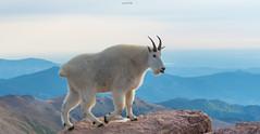 World of a Mountain Goat (agnish.dey) Tags: wildlife mountaingoat morning rockymountains animalplanet alpinetundra walking sunlight summit mountevans naturallight nature naturephotograph nikon naturethroughthelens coth colorado sky