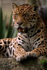 Jaguar (yadrad) Tags: jaguar dartmoorzoologicalpark dartmoorzoo ngc bigcats cats carnivore