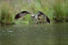 Osprey (Colin Rigney) Tags: nature wildlife scotland colinrigney scottishwildlife birds wings outdoors outside avian canon wild beautifulbirds wildbirds osprey fishing water birdofprey fisheater