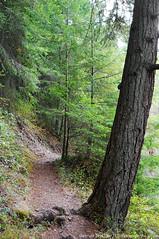2018-08-18 Whistle Lake Trail 205 (19) (680x1024) (-jon) Tags: anacortes skagitcounty skagit fidalgoisland sanjuanislands washingtonstate washington pnw pacificnorthwest salishsea pugetsound acfl anacortescommunityforestlands whistlelake lake trail path 205 nikon nikonl22 tree douglasfir fern alder summer woods forest a266122photographyproduction hiking hike walk walking