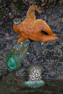 Sea Star and Anemones
