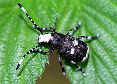 Allmän Plattnosbagge / Fungus weevil (Platystomos albinus) (Martin1446) Tags: nature natur nikon d500 macro makro insect skalbagge beetle allmän plattnosbagge fungus weevil platystomos albinus