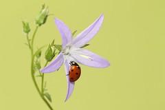 Ladybird (bilska.anna) Tags: