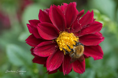 #9/118 World Honey Bee Day (belincs) Tags: 118picturesin2018 2018 august lincolnshire uk dahlia flower honeybee outdoors