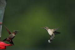 IMG_0700 (davekremitzki) Tags: hummingbird beaver dam illinois