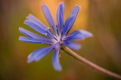 Summer Time (Bauer Florian) Tags: sony ilce7rm2 fe 90mm f28 macro g oss flower summer nature green blue ngc
