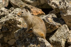 On guard (ChicagoBob46) Tags: uintagroundsquirrel groundsquirrel squirrel yellowstone yellowstonenationalpark nature wildlife ngc coth5 npc