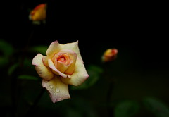 flower 1600 (kaifudo) Tags: sapporo hokkaido japan botanicalgarden rose goldtopaz flower 札幌 北海道 北大植物園 薔薇 ゴールドトパーズ nikon d810 nikkor afs 70200mmf28gedvrii 70200mm