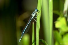 Agrion (jpto_55) Tags: insecte odonate agrion macro bokeh xe1 fuji fujifilm fujixf55200mmf3548rlmois côtedor bourgogne france ngc
