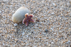 Starfish (Y-LG) Tags: animaux asteroidea continentsetpays etoiledemer europe fr fra france laturballe lieux loireatlantique paysdelaloire