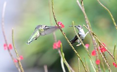 pair of hummingbirds (adirondack_native) Tags: two flowers flying green ruby throated