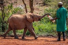 Give me my bottle!.jpg (Darren Berg) Tags: wild africa kenya orphanage sheldrick david milk bottle orphan baby elephant dcbshot explore explored