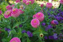 JLF19850 (jlfaurie) Tags: jardin hôteldeville evéché bourges jlfr mechas mpmdf lucila 21082018 flores garden flowers