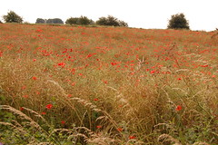 Poppy Field near Northleach (basswulf) Tags: d40 1855mmf3556g lenstagged unmodified 32 image:ratio=32 permissions:licence=c 20160720 201607 3008x2000 field northleach poppies summer gloucestershire england uk